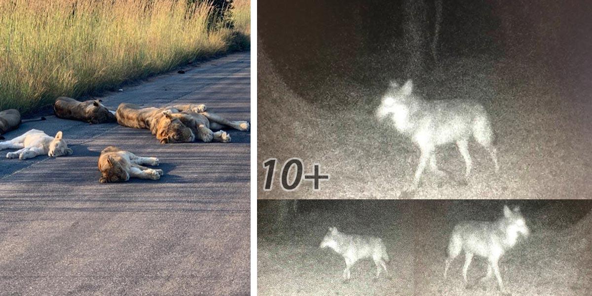 Divoká zvířata využívají vylidněná města a silnice - 3. díl