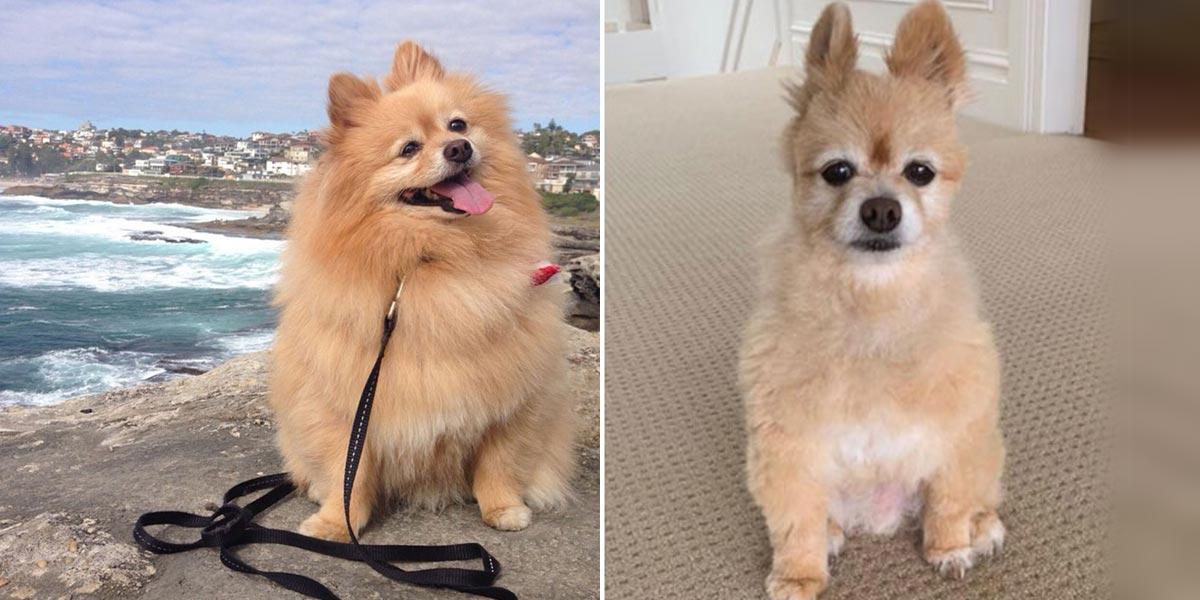 Fanoušci psího IG účtu nevěřili, co jejich majitelka (díky zavřeným salónům pro psy) provedla svému psovi