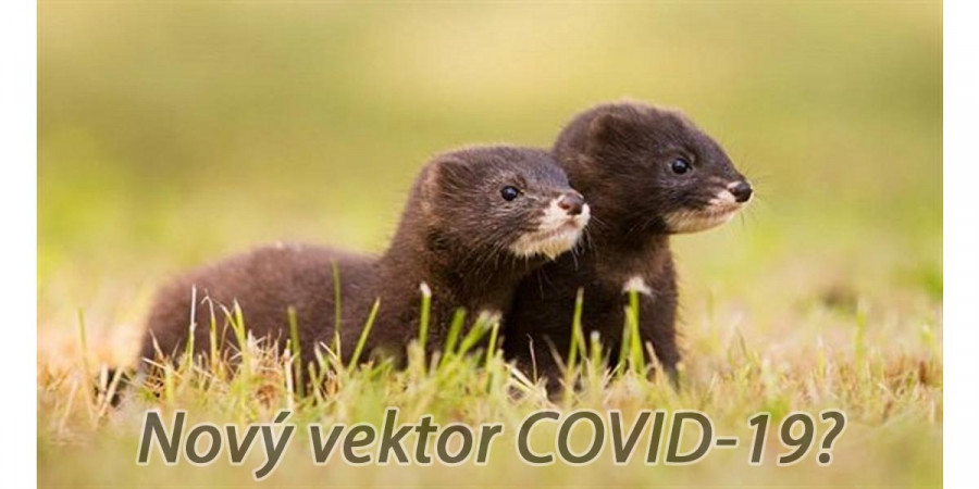 Kromě psů a koček se nově eviduje nákaza člověka COVID-19 od norků