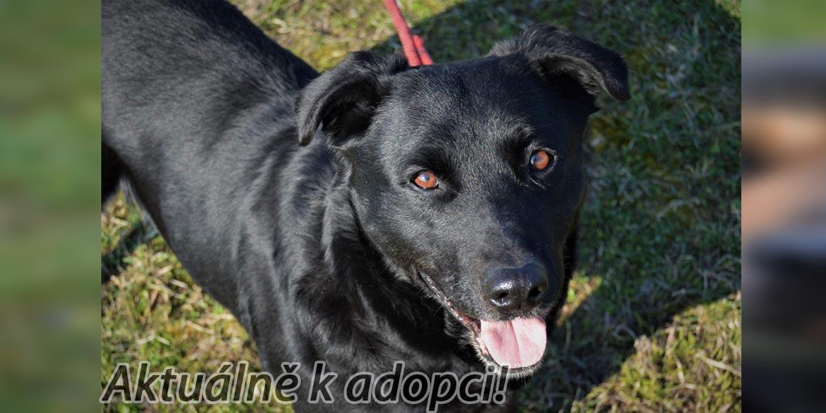 Fenka černého labradora Zbraši čeká v útulku na novou rodinu