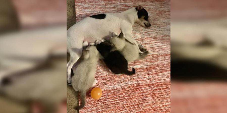Fenka adoptovala 3 malinká koťátka, před tím jim navíc zachránila život