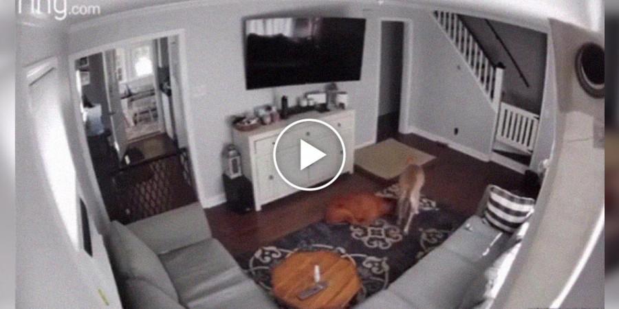 Kamera zachytila pravé psí přátelství k nemocnému bráškovi...