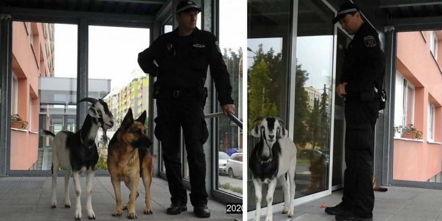 Zpráva dne: Pes a kozel si vyšli na procházku, zasahovat museli policisté