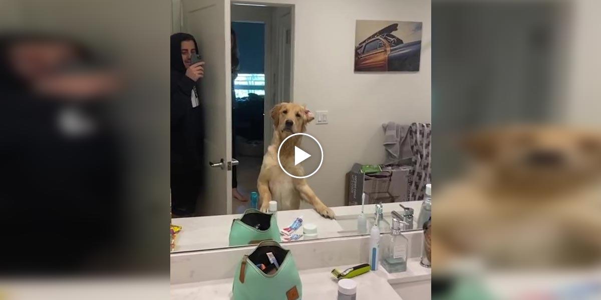 Lidé si zamilovali reakci zlatého retrívra při hře na schovávanou, když objevil majitele v zrcadle...