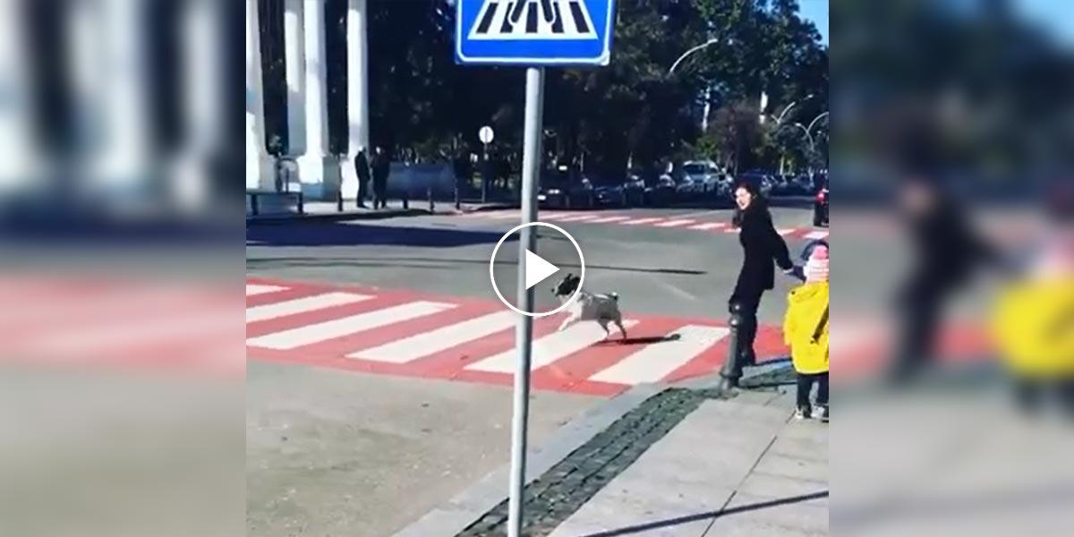 Tenhle pes denně pomáhá lidem přejít přes přechod. Je z něj místní celebrita.