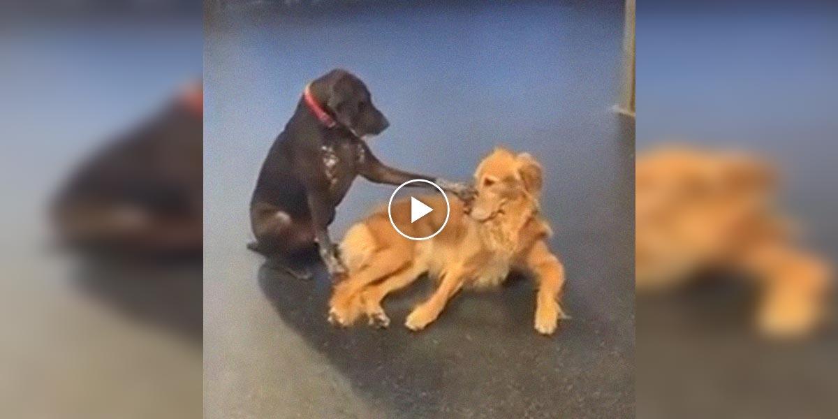 Pes, který hladí ostatní psy se stal hitem internetu. Ostatní psi nejdříve nechápou, pak ale pochopí...
