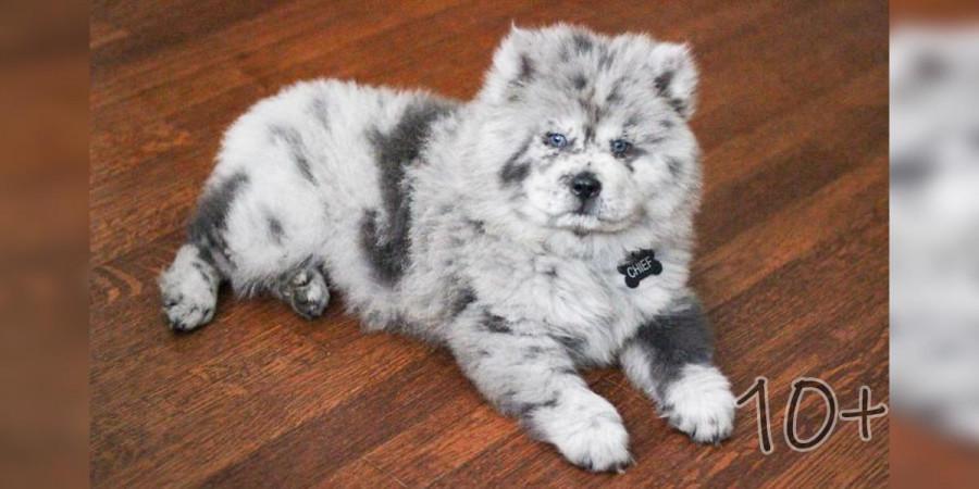 Seznamte se se štěnětem Oreo, ze kterého bude 40 kg terapeutický pes