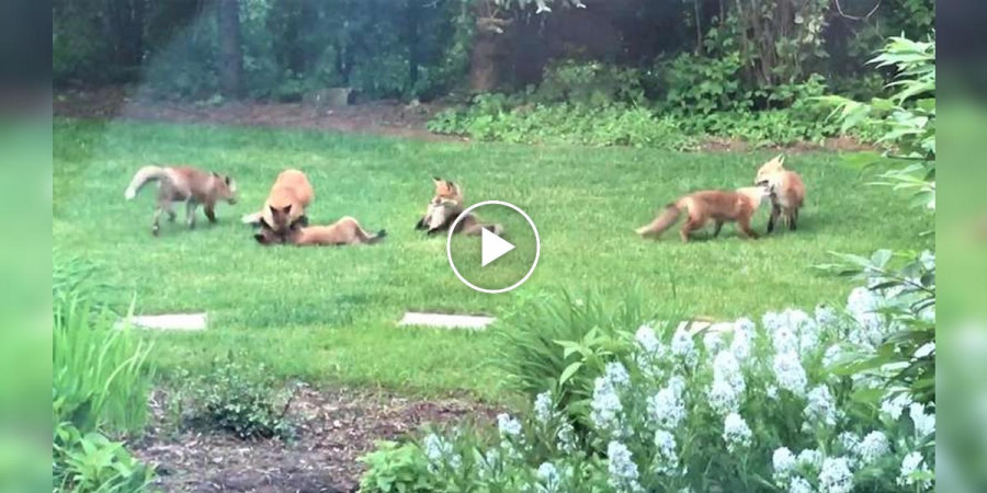Když jdou psi domů, na zahradu se nám seběhnou lišky