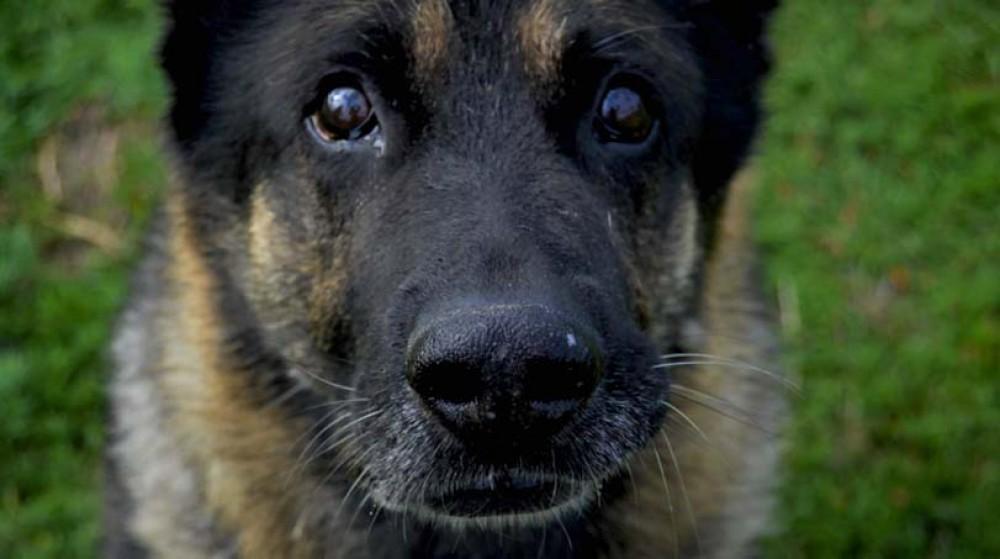 Detail hlavy psa - psí obličej a maska