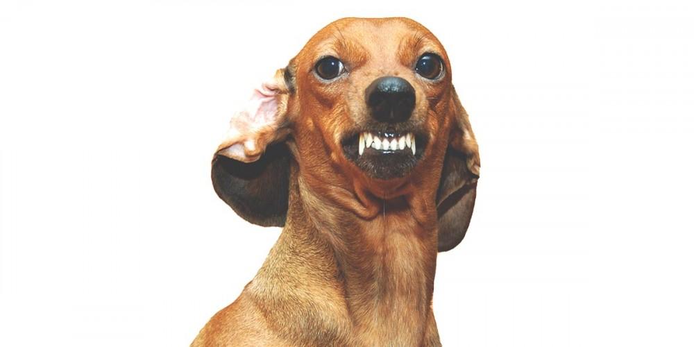 Agresivní jezevčík, pes cení zuby