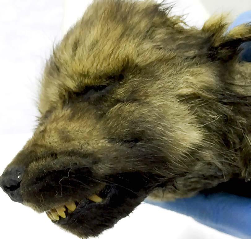 Nejstarší nález Caninae, pes, štěně, vlk