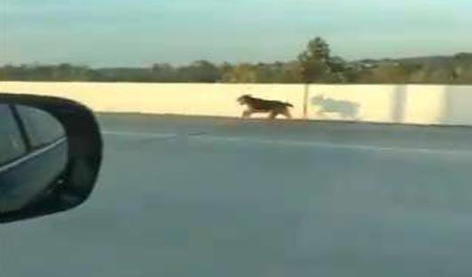 Pes na dálnici
