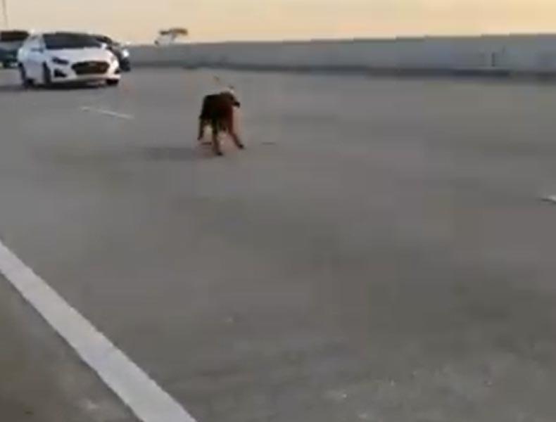 Pes zastavuje provoz