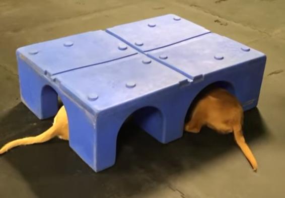 Štěňata zlatého retrívra ve psí školce