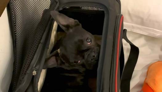 Cesta psa v letadle