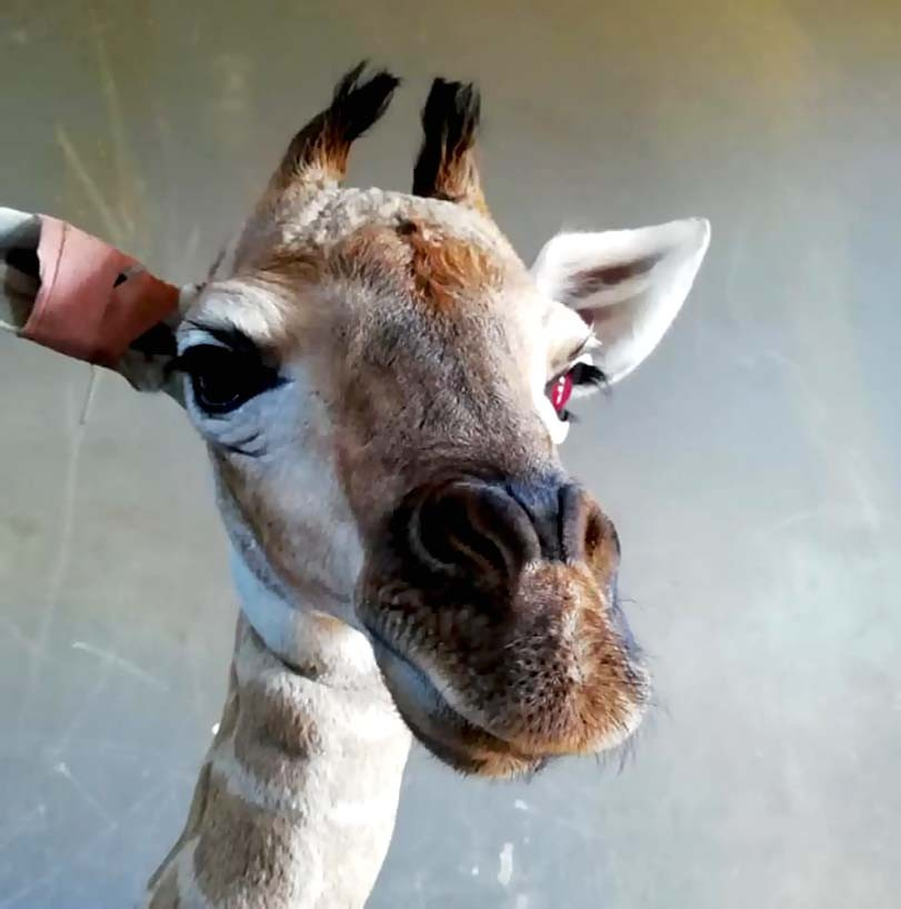 Zraněná žirafa