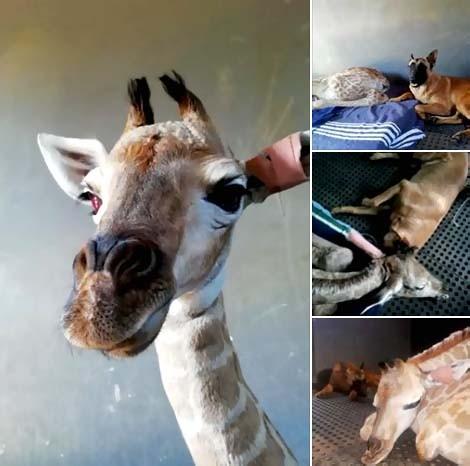 Shrnutí žirafy a psa, přátelství