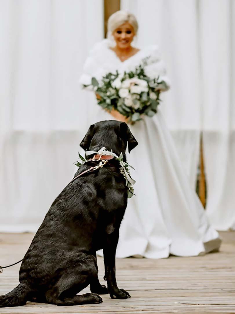 Labradorský retrívr před nevěstou