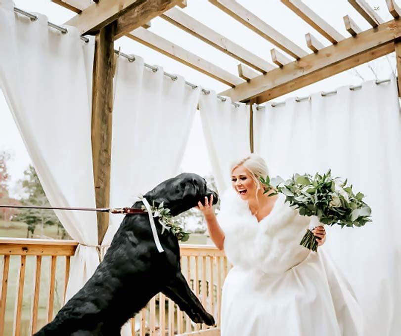 Labrador skáče na nevěstu