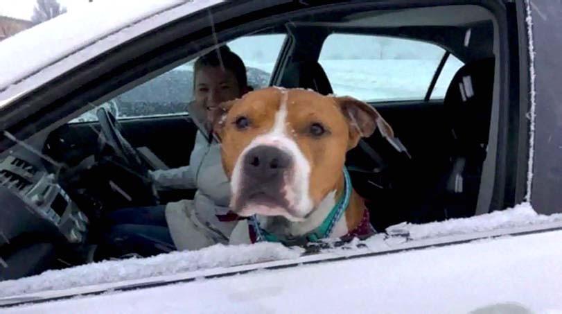 Pes pitbul v autě, sněží