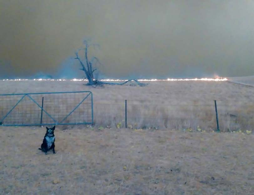 Border kolie, požár, pastavectví, pes