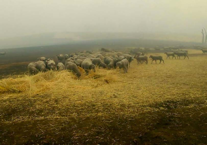Ovce při požáru