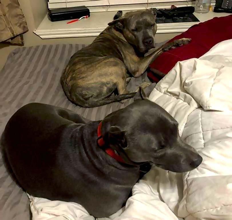 Putbul, pitbull, psi na posteli