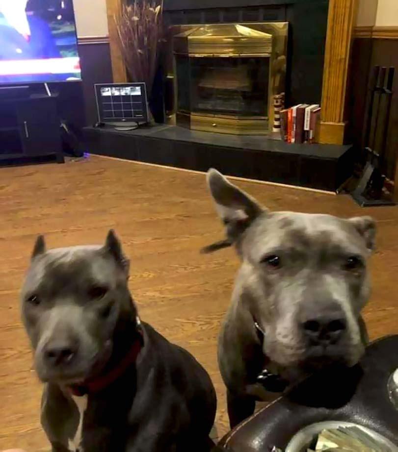 Pitbulové, obývací pokoj, psi u gauče