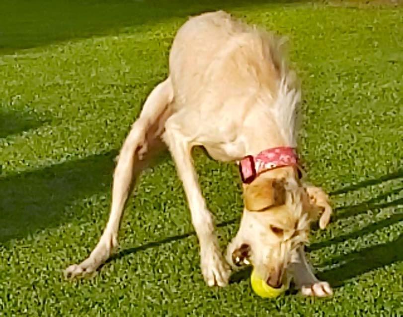 Pes, tenisový míč, hra se psem venku