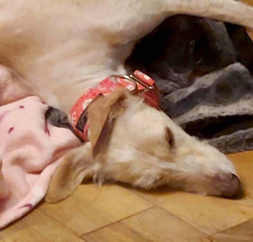 Spánek psa