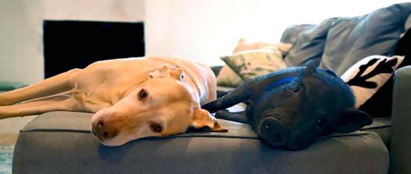 Spánek psa s prasetem, gauč