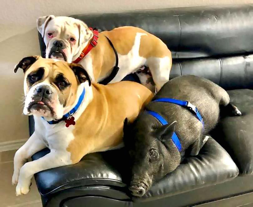 Prase na gauči, dva psi na gauči, s prasetem