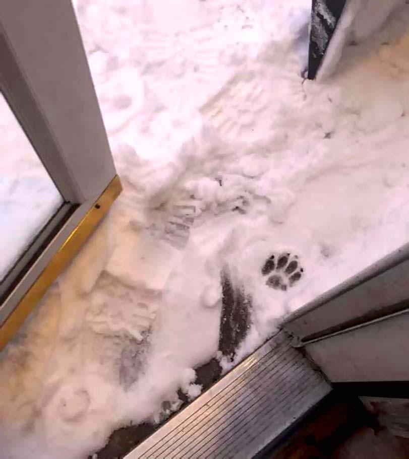 Psí tlapka, ve sněhu, jezevčík