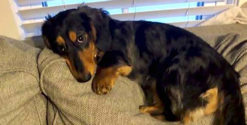 Jezevčík na gauči, pes odpočívá