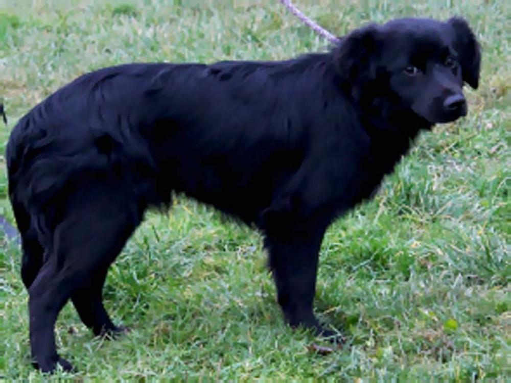 Pes k adopci, černá srst