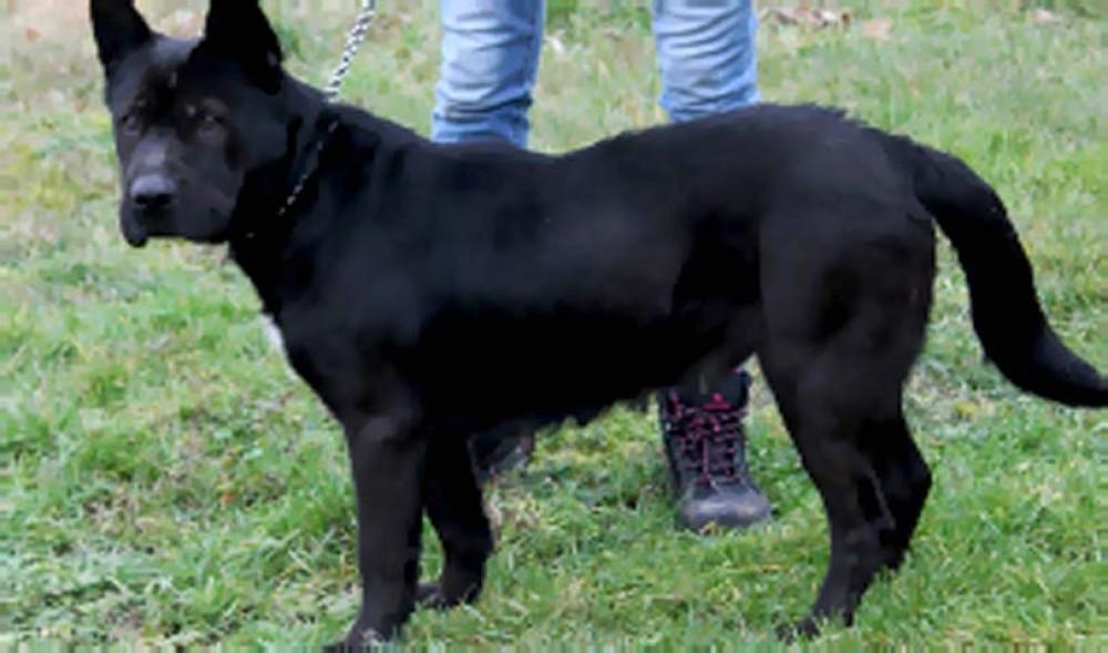 Pes k adopci, fena, fenka, černá, krátkosrstá