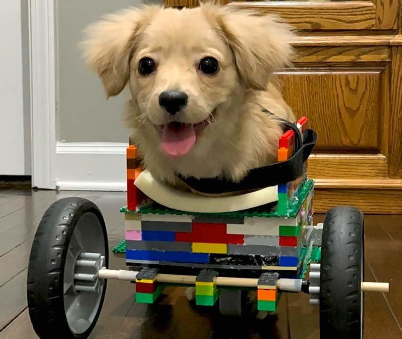 Štěně po adopci doma s vozítkem, předni končetiny