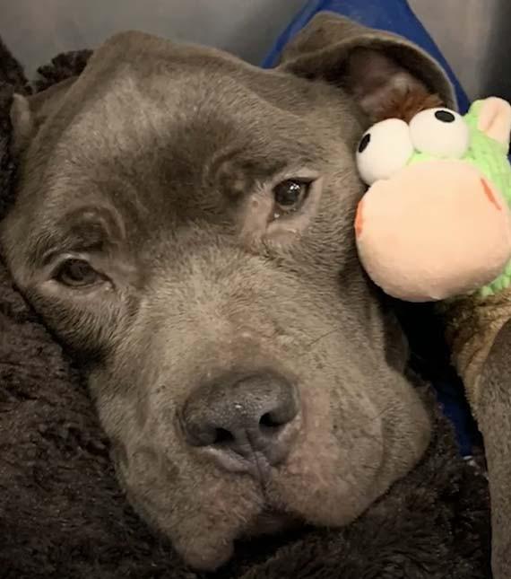 Pes, hračka, únava, po operaci
