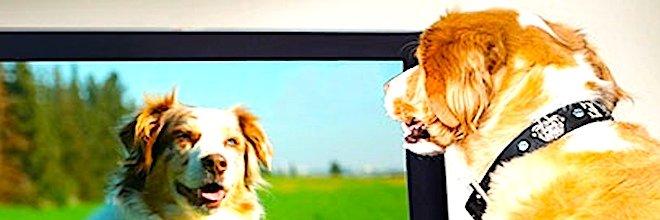 Proč někteří psi tak moc milují sledování Tv?