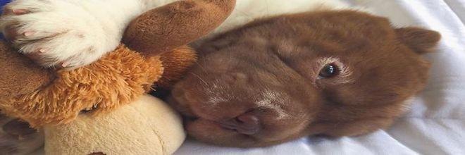 Náš šarpej vypadá jako kříženec psa a medvěda!